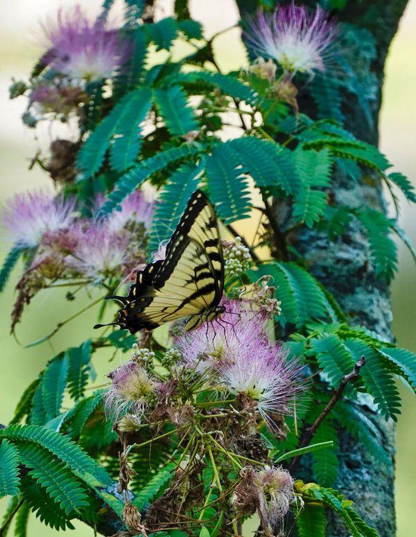 Butterfly & Mimosa thumbnail