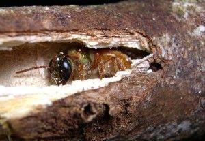 megalopta-genalis-in-stick-nest1-300x207.jpg