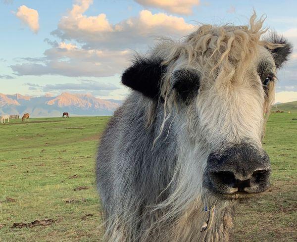 I love yaks! thumbnail