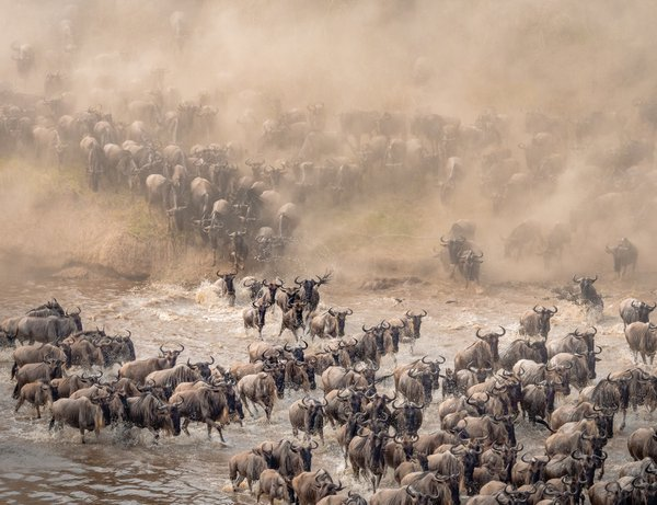 Chaos at the Crossing - Wildebeest Crossing, Serengeti thumbnail