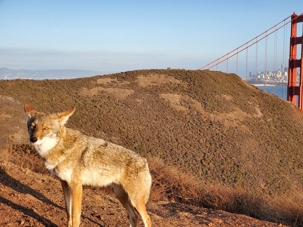 Coyote sending looks of judgement in front of the Golden Gate Bridge thumbnail