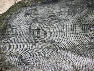 Tree rings are easiest to see in trees that grew in temperate places, because the temperature changes at different times of the year.
