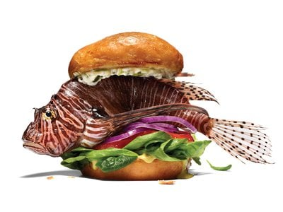 The lionfish is a maroon-and-white striped creature,  but once it's cleaned, restaurant chefs and home cooks like to grill, bake and fry its firm white flesh.