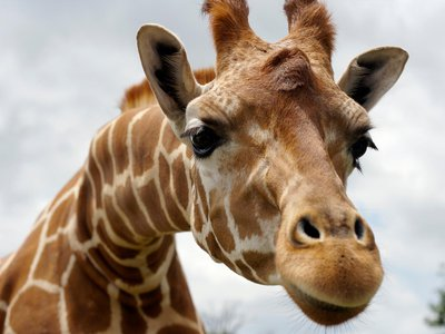 What kept giraffes apart so long that they developed into separate species?