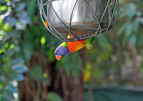 Unusual vantage point for a rainbow lorikeet thumbnail