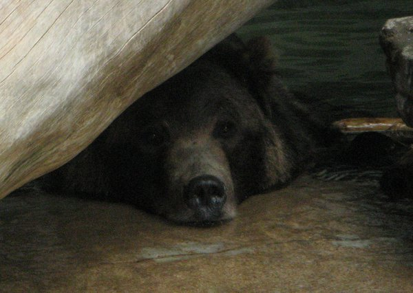 A very bored Grizzly Bear thumbnail