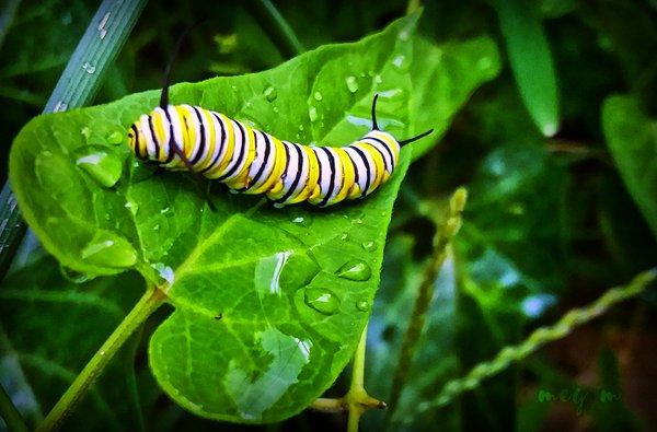 Dewy Morning Monarch thumbnail