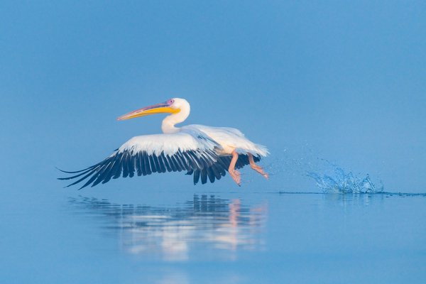 White Pelican thumbnail