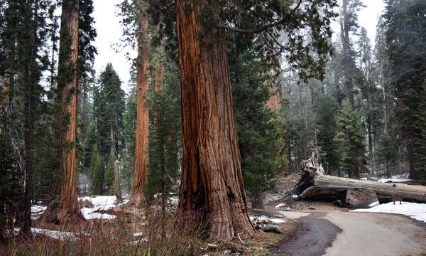 Picturesque Sequoias thumbnail