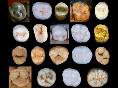A collection of Hominin teeth used to determine the rate of tooth evolution among human ancestors.