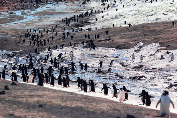 Adelie Penguins colony in Possession Island. Ross Sea. Antarctica thumbnail