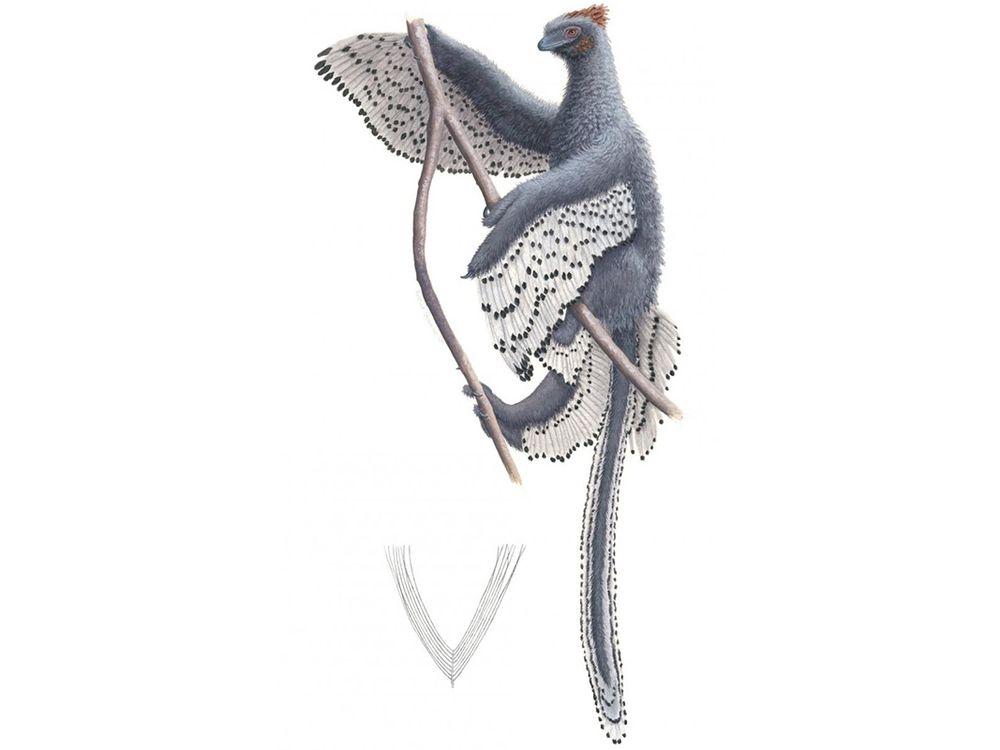 A new depiction of <em>Anchoirnis</em> and its contour feather.