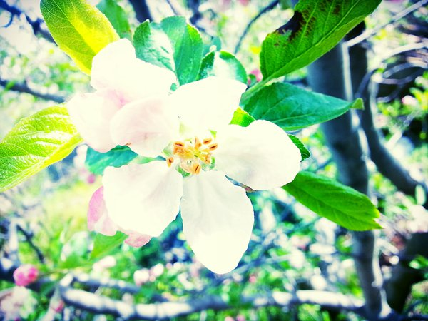 Apple blossom in the apple season thumbnail