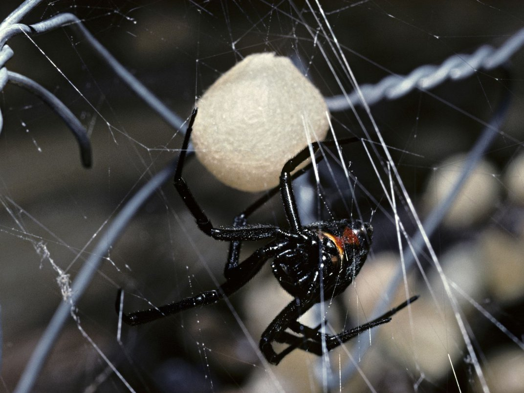 Eight Fun Facts About Black Widows