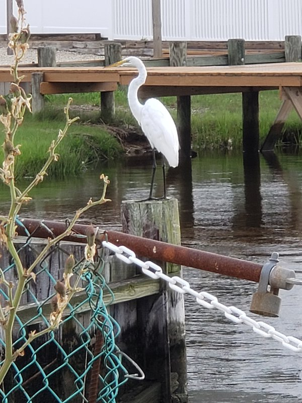 White great egret taken in little egg harbor, new jersey while out on a walk thumbnail