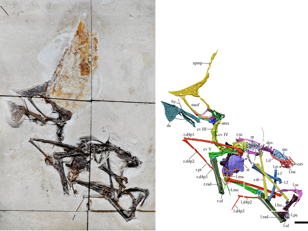 An image of a fossilized Pterosaur skeleton