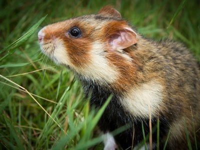 Hamsters are nearsighted and colorblind. To find their way through dense fields, they rely on scent trails.