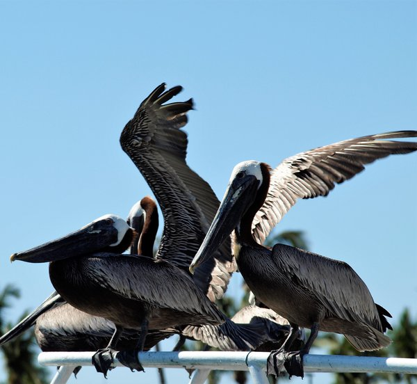 A group of Pelicans waiting to eat fish thumbnail