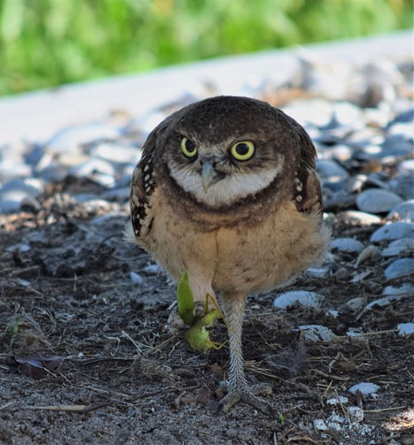 An owlette catches lunch  thumbnail