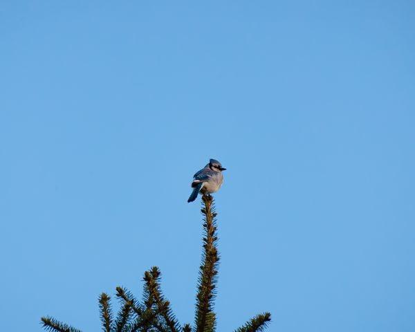 A jay perched atop his home.  thumbnail