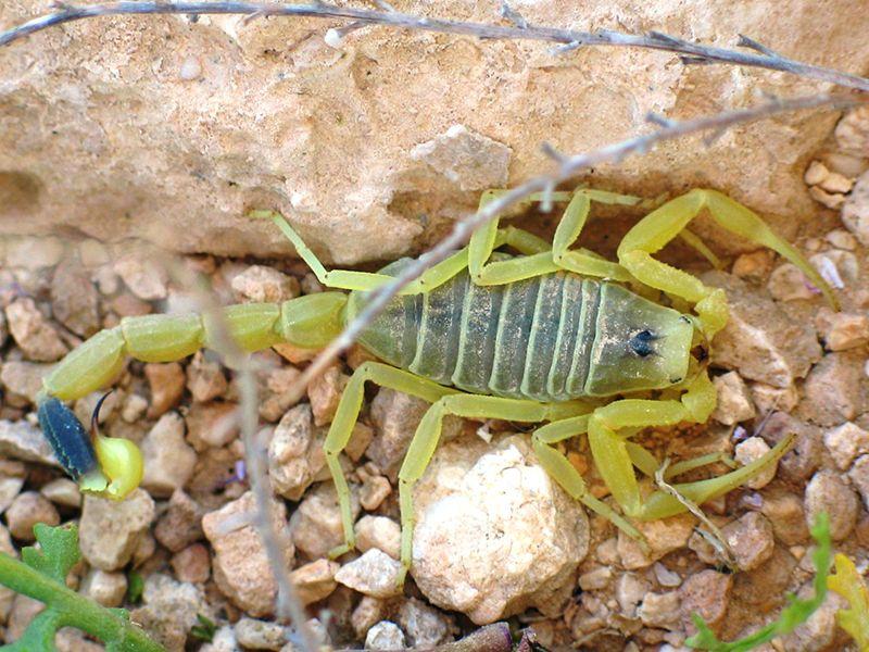Deathstalker-scorpion.jpg