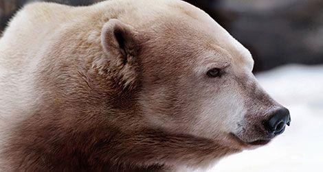 Artist Nickolay Lamm's depiction of a polar-grizzly hybrid