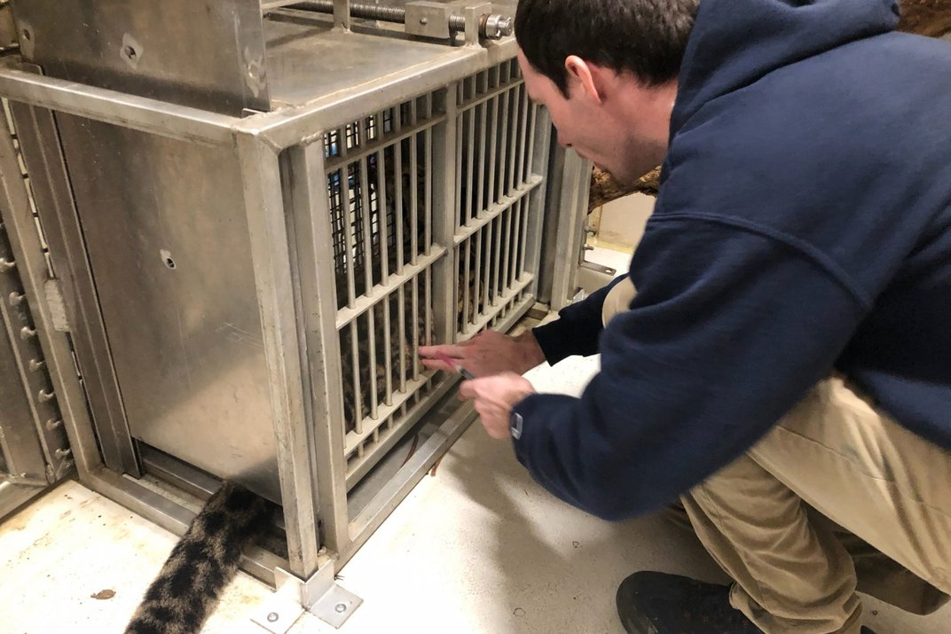 """A keeper lightly touches a clouded leopard cub that is seated inside a crate called a """"training squeeze"""""""