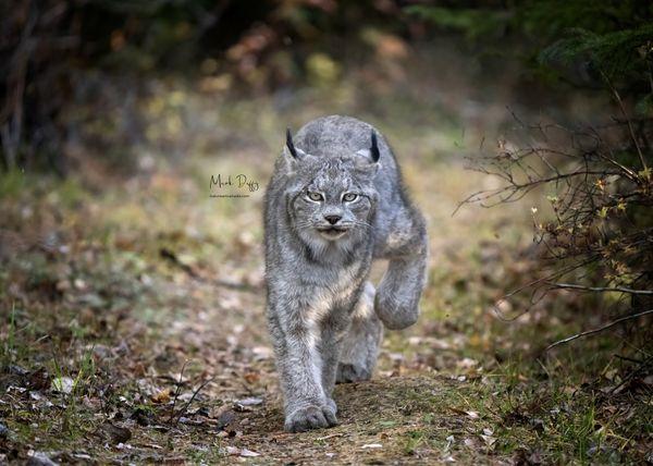 Lynx on the Prowl thumbnail