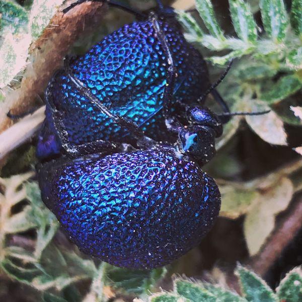 Mating blister beetles thumbnail