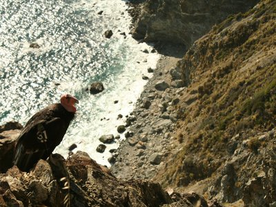 A condor, tagged with a transmitter for tracking, perches on California's coast.