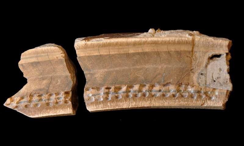 sloth tooth.jpg