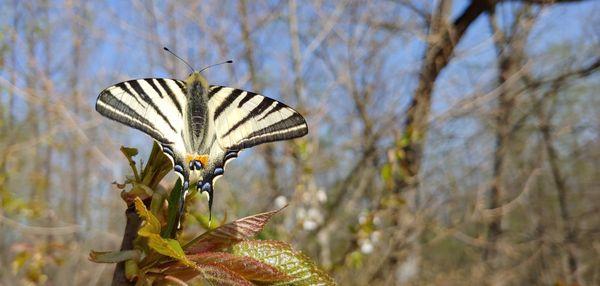 Scarce swallowtail butterfy thumbnail