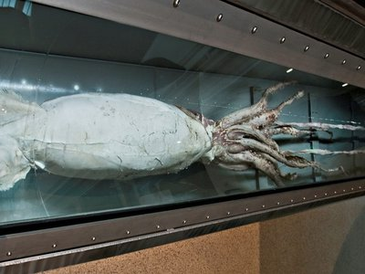 Giant squids can grow to over 40 feet long. The Smithsonian's National Museum of Natural History has a giant squid specimen on display in the Sant Ocean Hall and several others in its collections. (John Steiner, Smithsonian)