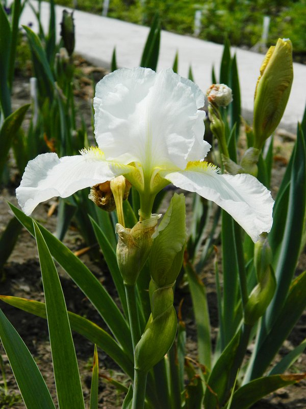 White iris thumbnail