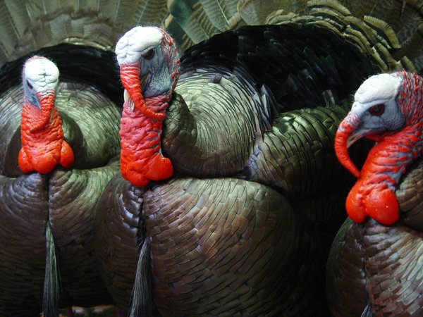 Wild Tom Turkeys thumbnail