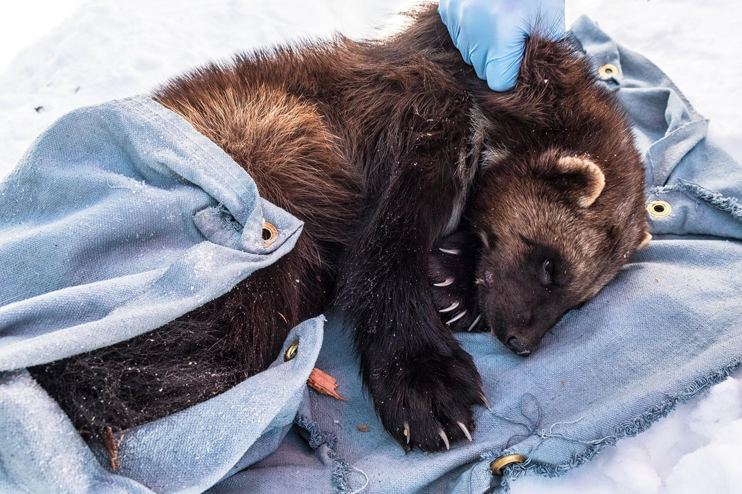 Why Wolverines Are the Arctic Animal We Love to Hate