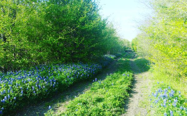 Texas Bluebonnet Trail thumbnail