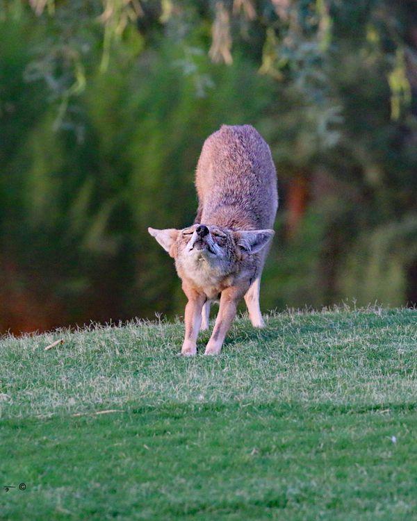 coyote bow thumbnail