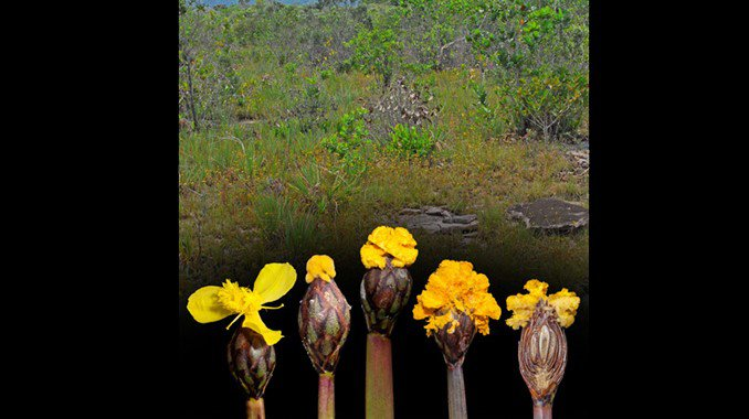 Fusarium xyrophilum fungus and yellow-eyed grass flower