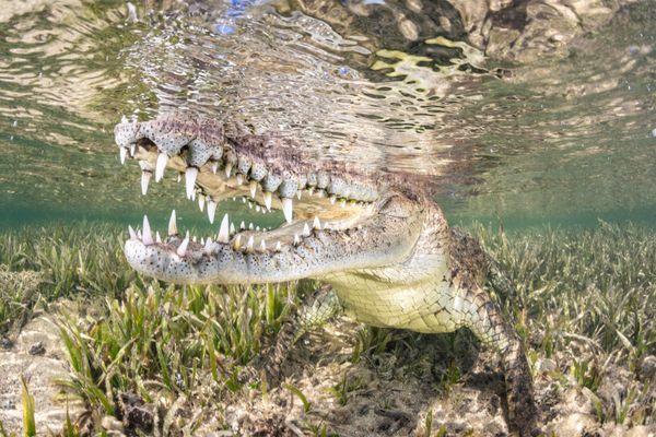 American Crocodile in Seagrass thumbnail