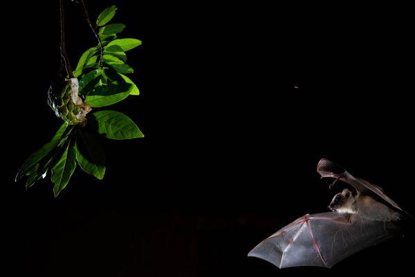 Fruit and bat thumbnail