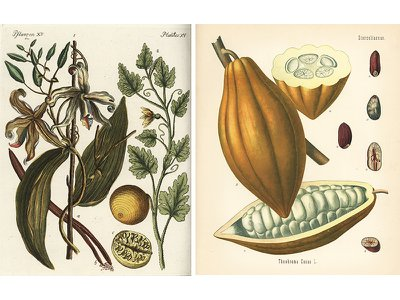 Vanilla beans begin as the seedpods of a tropical orchid (left); Chocolate is made from the seeds hidden inside the fruit of the cacao tree (right).