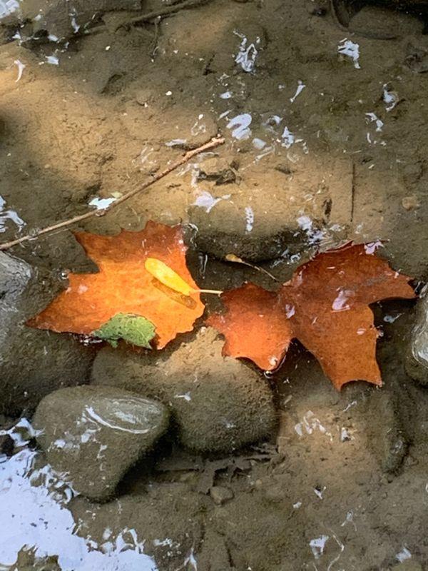 Sunlit autumn leaves in stream thumbnail