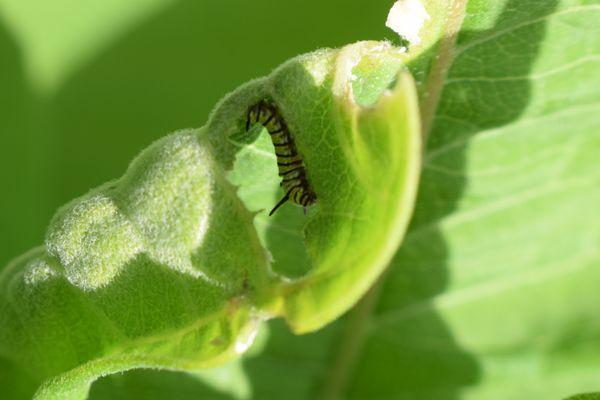 Monarch Caterpillar Eating a Milkweed Leaf thumbnail