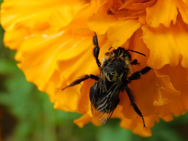 Wet Bumblebee Clings to a Marigold thumbnail