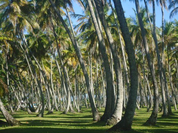 Coconuts trees thumbnail