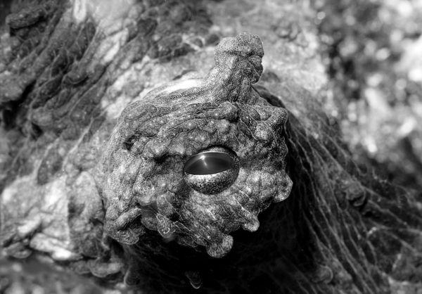 Octopus Eye thumbnail