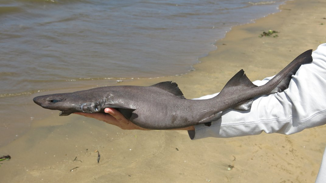 To Study Rare Sharks, Scientists Are Heading to Fish Markets