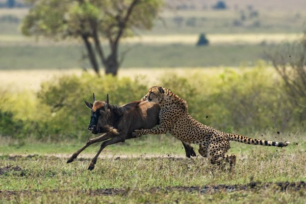 Cheetah hunting a young Wildebeest thumbnail