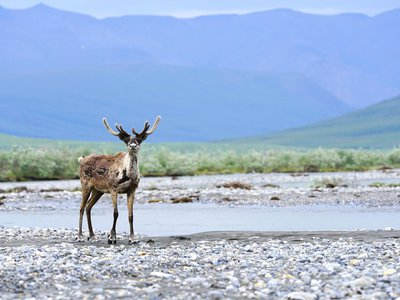 The Arctic National Wildlife Refuge is home to an abundance of wildlife such as polar bears and caribou, which the region's Indigenous communities rely on and hold sacred.
